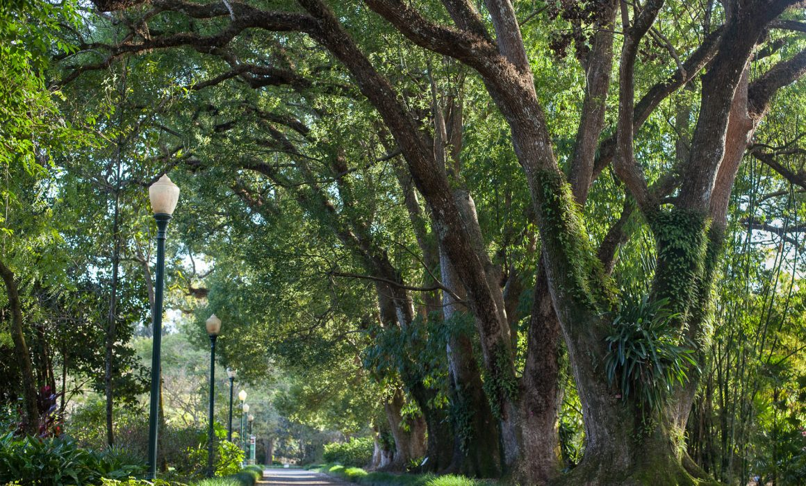 Cultivated and Wild Garden Photography. Camphor Tree Allée, Leu Gardens Florida