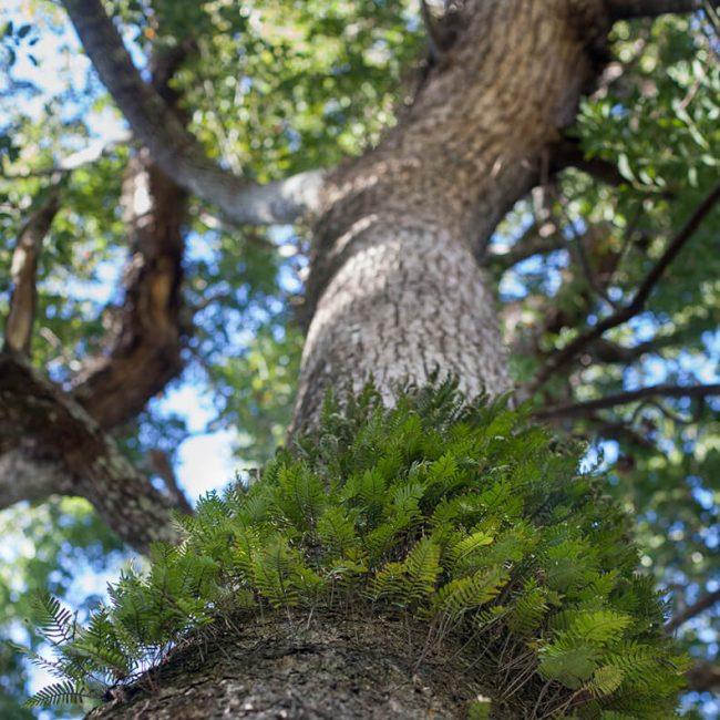 resurrection ferns (Pleopeltis polypodioides) leu gardens