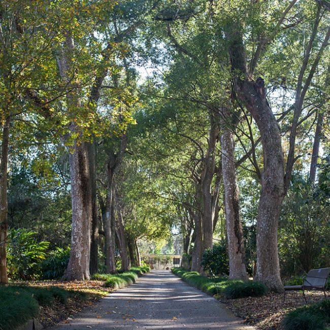 Camphor tree alley (Cinnamomum camphora) leu gardens