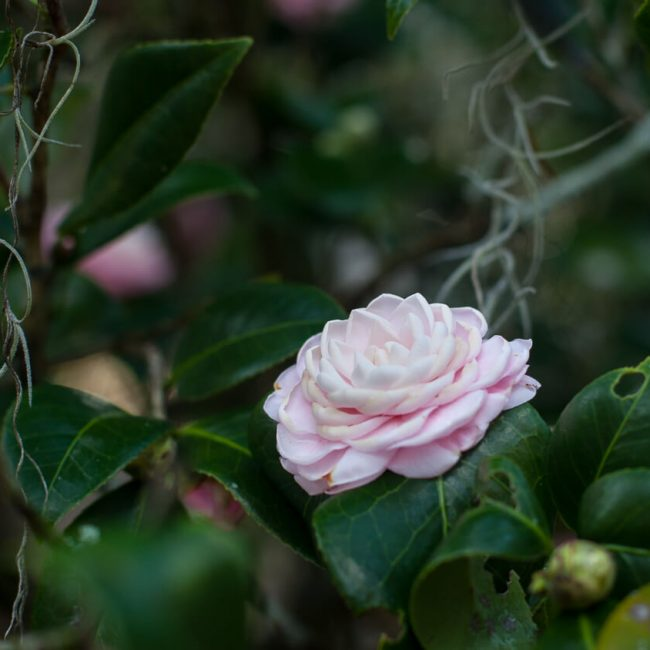 camellia leu gardens Formal double flower type