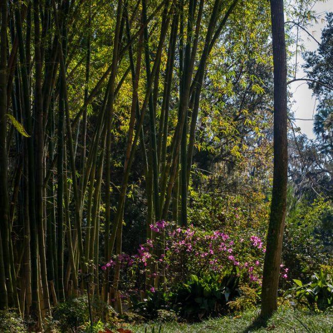bamboo azalea camellia leu gardens