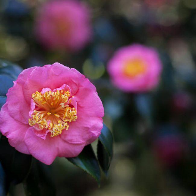 camellia leu gardens Anemone flower type