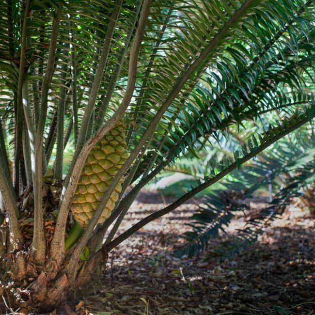 Cycad cone leu gardens