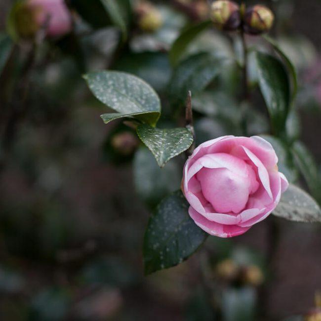 camellia leu gardens