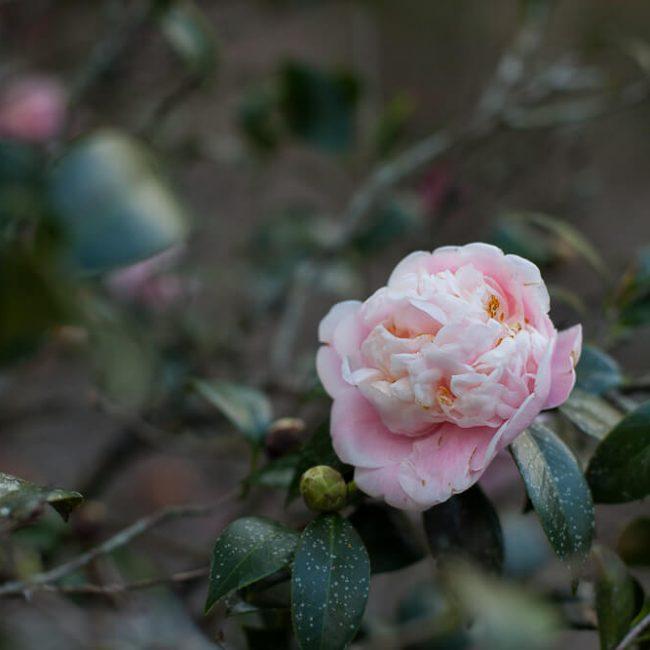 camellia leu gardens peony flower type