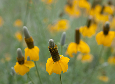 Native Plant Wildflower Photography