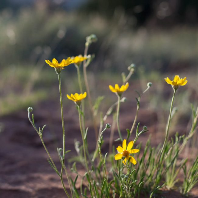 Thrift Mock Goldenweed (Stenotus Armerioiddes)