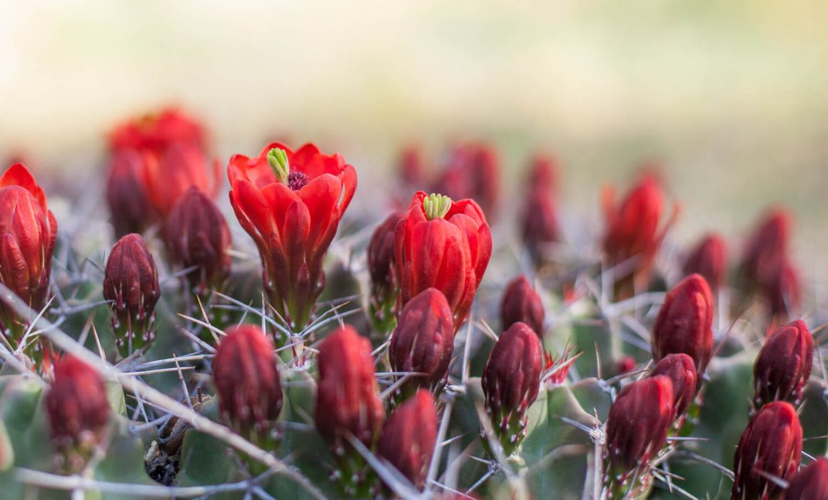 Claret Cup Cactus Ghost Ranch