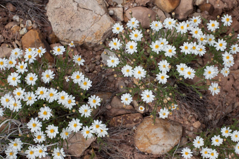 Rose Heath (Chaetopappa Ericoides)