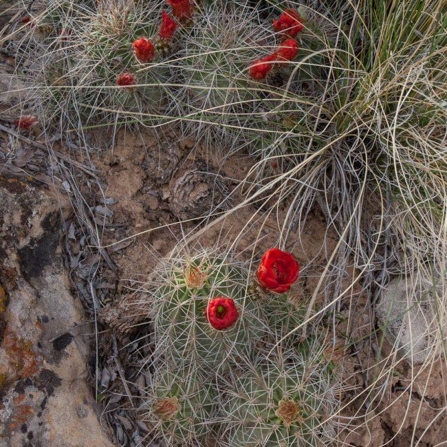 Claretcup, Kingcup Cactus (Echinocereus triglochidiatus)