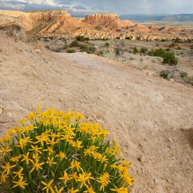 Thrift Mock Goldenweed (Stenotus Armerioiddes) Ghost Ranch