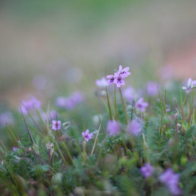 purple wildflower ghost ranch