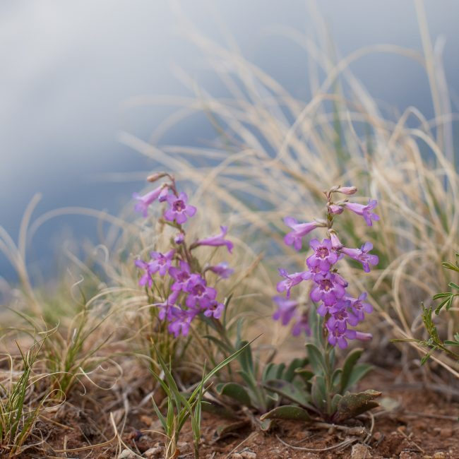 Penstemon ghost ranch new mexico