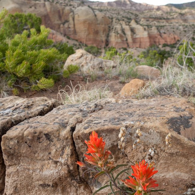 ghost ranch Indian Paintbrush (Castillejas spp.)