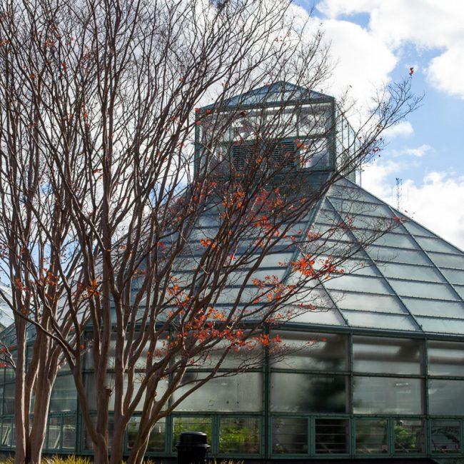 crape-myrtle trees fall brooklyn botanic garden