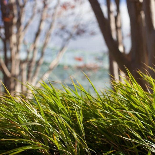 Japanese forest grass (Hakonechloa macra)
