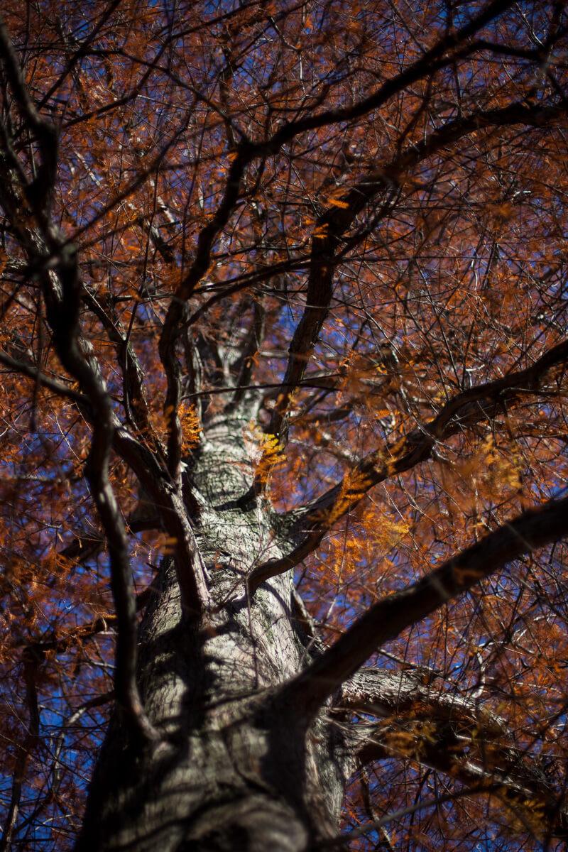 Bald cypress (Taxodium distichum) fall rust