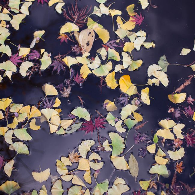 gingko maple leaves on black water