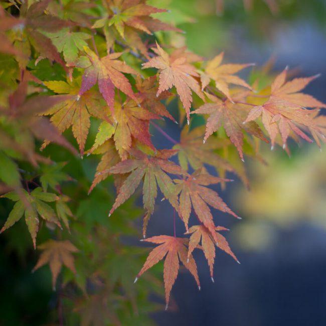 Japanese Maples Brooklyn Botanic Garden