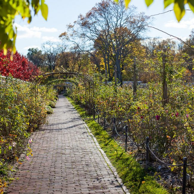 rose garden fall brooklyn botanic garden