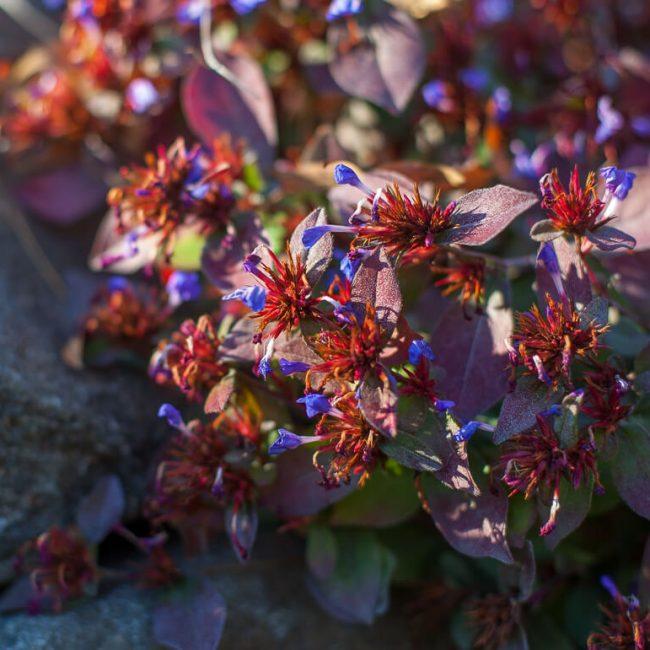 hardy plumbago (Ceratostigma plumbaginioides) fall foliage
