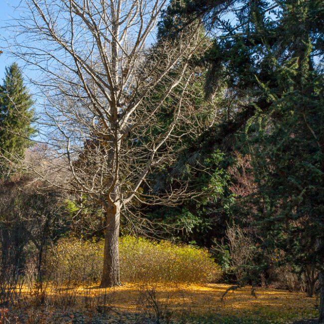 Biltmore Gardens Gingko bilboa tree