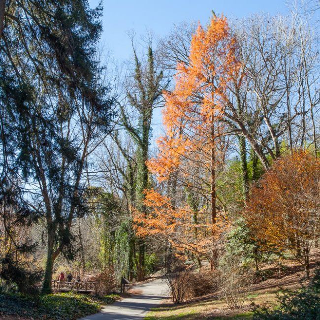 Bald Cypress (Taxodium distichum) Biltmore Gardens