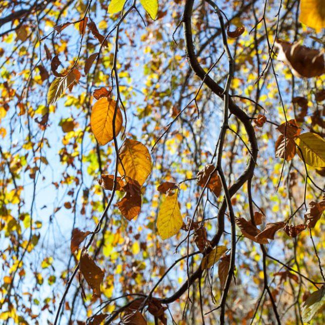 Biltmore Gardens Weeping European Beech (Fagus sylvatica 'Pendula')