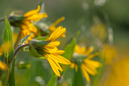 cultivated and wild wildflower photography native plant photographer ashley moore