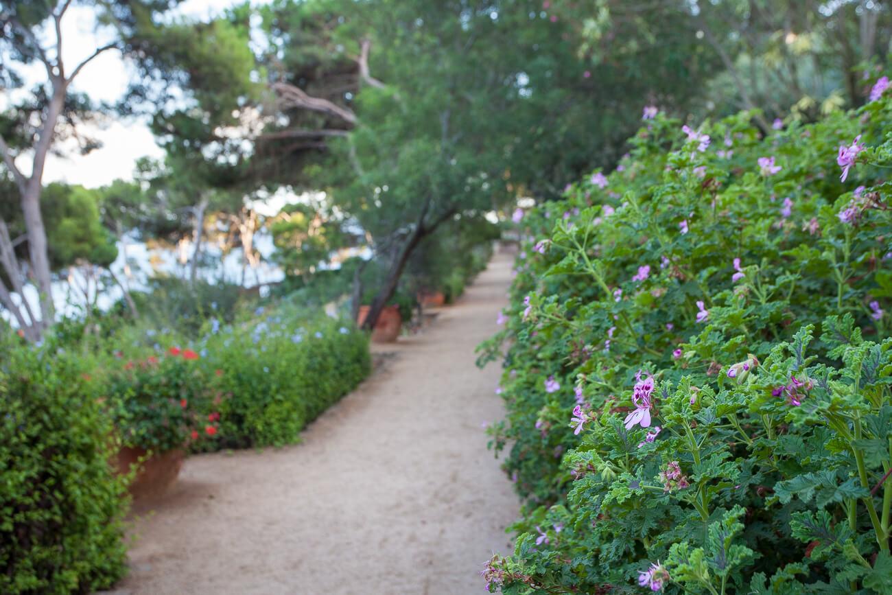 Pelargonium geranium passage jardins de cap roig