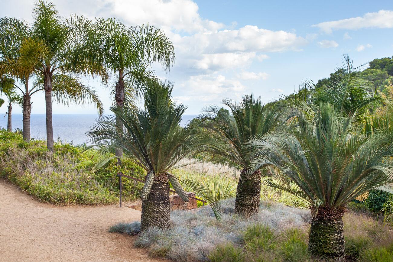 Macrozamia moorei cycad jardins de cap roig
