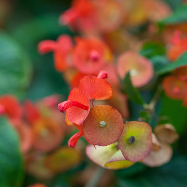 Orange Chinese Hat Plant (Holmskioldia sanguinea)