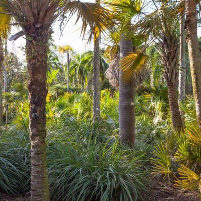 Fairchild Tropical Botanic Garden Montgomery Palmetum Palms Copernicia prunifera, C. glabrescens, Coccothrinax spiss