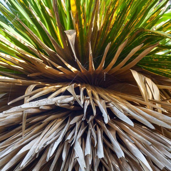 Montgomery Palmetum petticoat palm (Copernicia macroglossa)