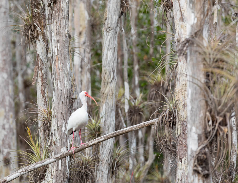 white ibis big cypress national preserve