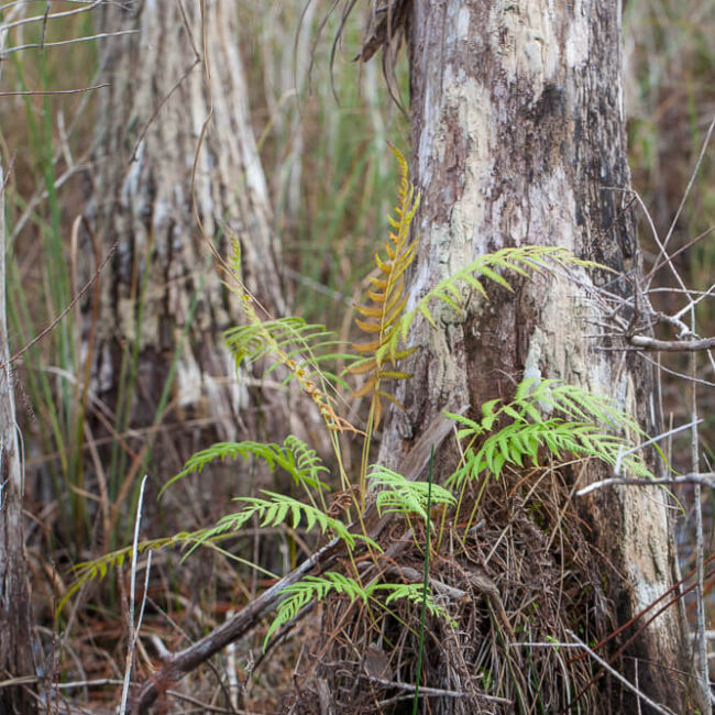 fern big cypress national preserve