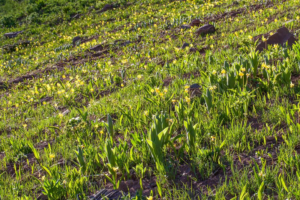 Glacier Lily (Erythronium grandiflorum) rustler gulch trail crested butte colorado