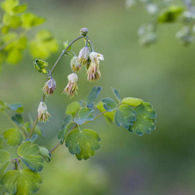 Fendler's Meadow Rue (Thalictrum fendleri) Rustler Gulch Trail Crested Butte Wildflowers