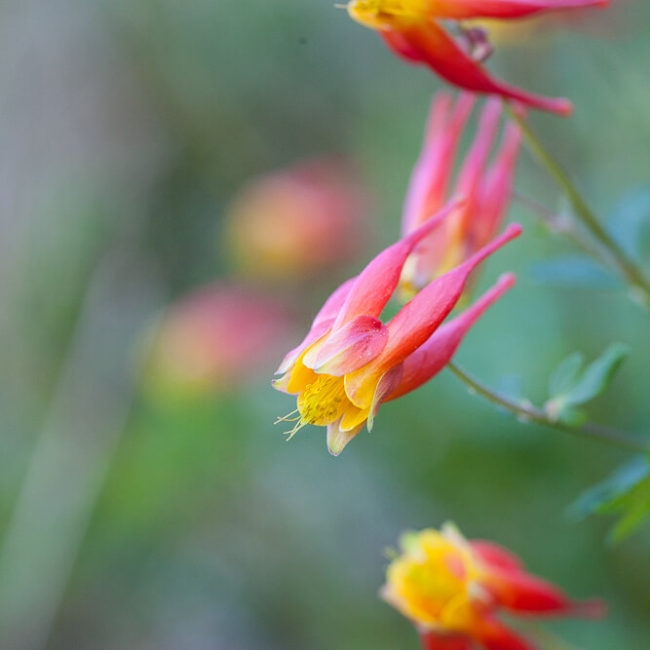 Western Red Columbine (Aquilegia elegantula) Crested Butte