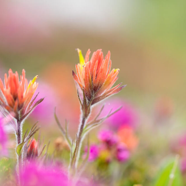 20 lakes basin wildflowers sierra mountains Castilleja