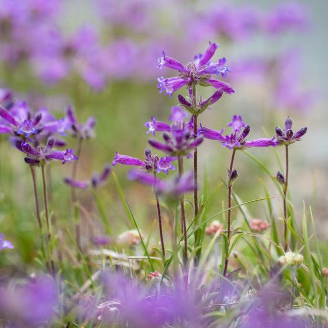 20 lakes basin wildflowers sierra mountains