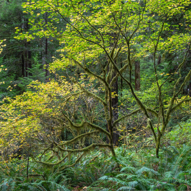 Prairie Creek Redwoods State Park, Vine Maple, Fall Leaves