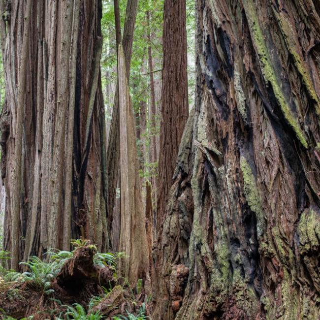 Prairie Creek Redwoods State Park, Redwood Bark