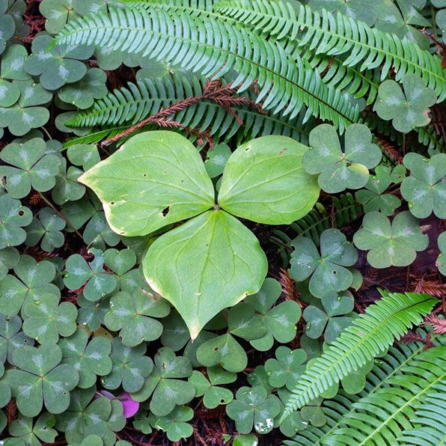 Prairie Creek Redwoods State Park Trillium