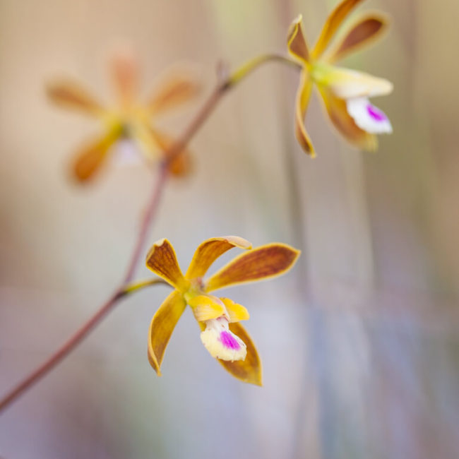 Encyclia tampensis (Florida Butterfly Orchid) Big Cypress National Preserve