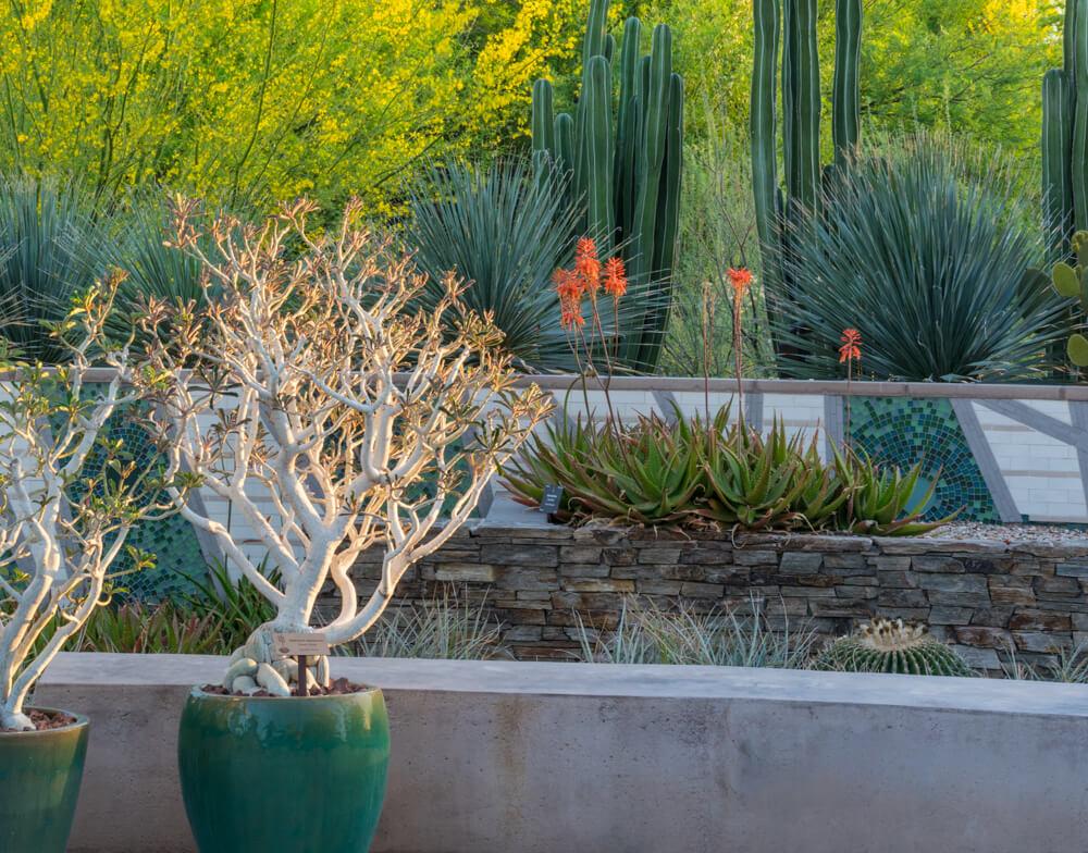 desert rose (Adenium swazicum), desert botanical garden