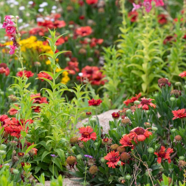 Gaillardia flowers, wildflowers, desert botanical garden