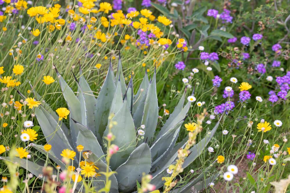 desert wildflowers, agave, desert botanical garden