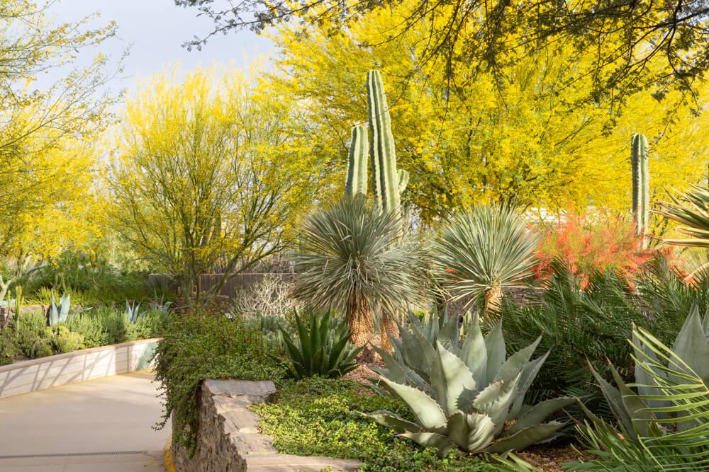 palo verde, garden terraces, desert botanical garden, phoenix arizona