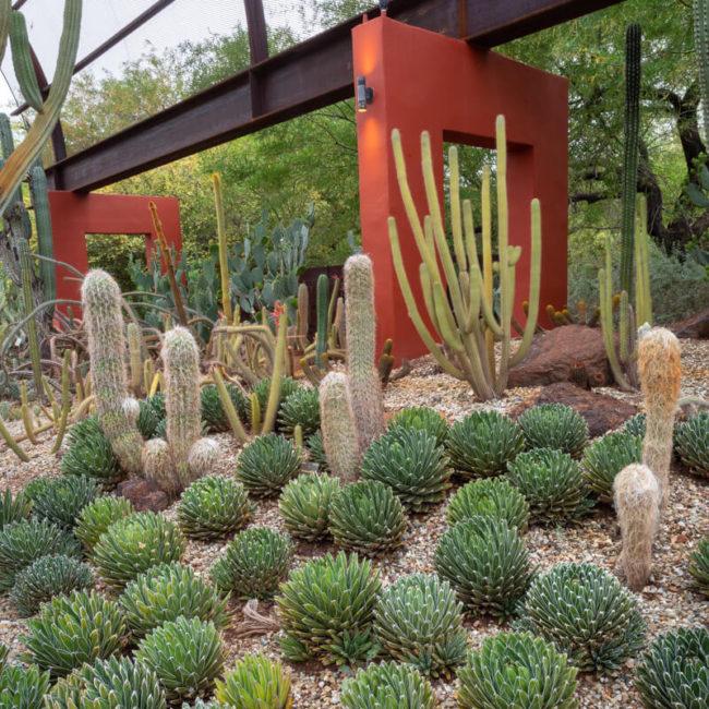 Queen Victoria Agave (Agave victoriae-reginae) desert botanical garden